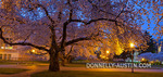 "Seattle, WA: Blossoming cherry trees in the Liberal Arts Quadrangle, ""The Quad"", University of Washington campus"