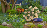 Vashon-Maury Island, WA: Spring garden bed with blooming rhododendron, grape hyacinth, hostas, and Japanese forest grass