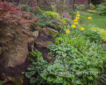Vashon-Maury Island, WA: White flowering heuchera and yellow flowering deciduous azalea accent a woodland garden.