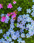 Olympic National Park, Washington: Spreading phlox (Phlox Diffusa) and on a Hurricane Ridge trail