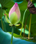 Washington, District of Columbia: Lotus (Nelumbo nucifera) blossoms in the lotus pond of the Kenilworth Park and Aquatic  Gardens