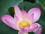 Washington, District of Columbia: Lotus (Nelumbo nucifera) blossom in the lotus pond of the Kenilworth Park and Aquatic  Gardens