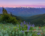 Olympic National Park, WA: View of Mount Olympus and ridge lines of Hurricane Ridge at dawn from Hurrican Hill with lupine and paintbrush in the foreground