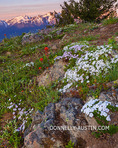 Olympic National Park, WA: Phlox (Phlox diffusa) and paintbrush (castilleja sp.) blooming on a hillside at dawn with the Olympic Mountains in the distance - from Hurricane Hill