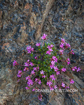 Olympic National Park, WA: Cliff dwarf-primrose or smooth douglasia (Douglasia laevigata) blooming on a talus slope. 