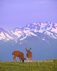 Olympic National Park, WA: A pair of black-tailed deer grazing on avalanche lilies on Hurricane Hill at dusk. 