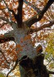 100 year old White Oak tree in the autumn.