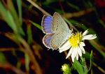 Eastern-Tailed Blue butterfly.