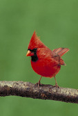 Northern male cardinal on tree branch.