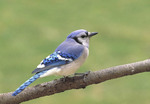 Common Blue Jay.