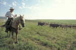 Cowboy driving cattle to pens for loading to market.
