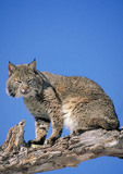 Adult female bobcat in a tree.