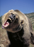 Snarling adult female grizzly bear.