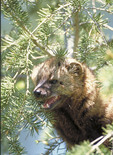 Adult male Fisher in a pine tree.