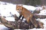 Red fox in the Winter.
