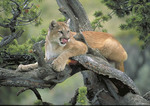 Adult Mountain Lion in a tree