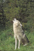 Adult female Eastern Gray Timber Wolf howling.