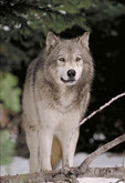 Adult Eastern Gray Timber Wolf.