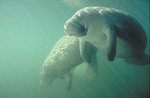 Two Manatees in Florida waters. Sirenia order Trichechidae family