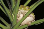 Whites Tree Frog.