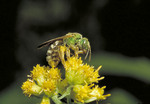 Virescent Green Bee on yellow flower.