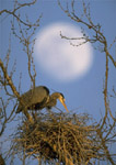 Great Blue Heron on nest with moon in the background.