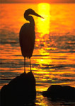 Great White Heron at sunrise by the ocean.