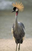 African Crowned Crane in zoo.