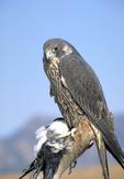 Adult male Peregine Falcon with dead prey.