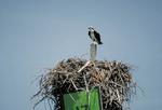 Osprey guarding nest.