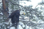 Adult male Bald Eagle in the winter.