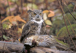 Great Horned Owl with prey; ringneck pheasant.