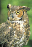Great Horned Owl close-up.