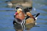 Adult male Mandarin duck showing breeding plumage.