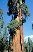 Giant Redwoods in Sequoia National Park.