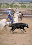 Steer roping at the rodeo.