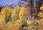 Aspen trees in the fall at Tom's Place, California