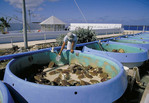 Green Sea Turtle Farm and Research Center