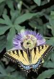 Tiger Swallowtail Butterfly on Passion Flower