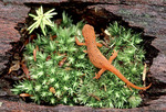 Red Spotted Newt, Immature form of Eastern Newt