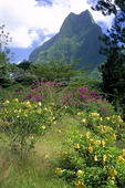 Flowers and mountain in Tahiti.