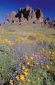 Spring wildflowers in Lost Dutchman State Park, Arizona.