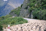 Sheep in the road on the way to market.