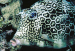 Honeycomb Cowfish in the Caribbean