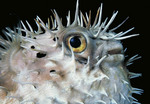Close up of Porcupine fish at night