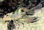 Fresh water crayfish with zebra musseles