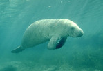 Manatee in the Crystal River