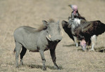 Warthog with Vulture