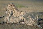 Cheetah family feeding
