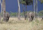 African elephants feeding among trees